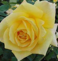 Oregold Hybrid Tea Rose - 1 bare root plant