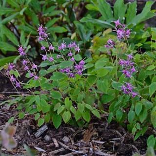 Lilac Fairy Epimedium