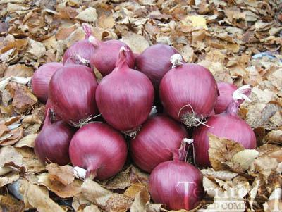 Red Bull Onion