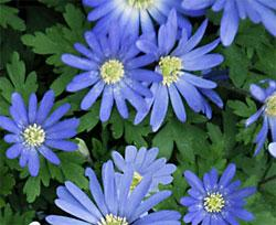 Blue Shades Anemone blanda - 25 bulbs