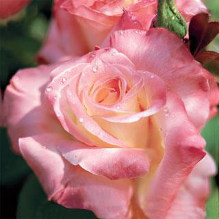 Elegant Lady 24-inch Patio Tree Rose