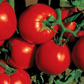 Celebrity Hybrid Tomato Plant