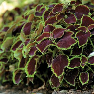Coleus 'Chocolate Mint'