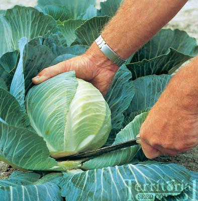 Saratoga Storage Cabbage