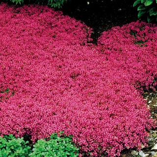 Coccineus Thymus praecox Creeping Thyme Plant