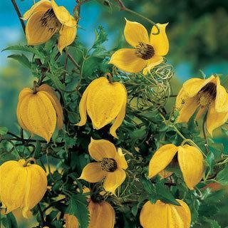 Clematis tangutica Golden Tiara Clematis Plant