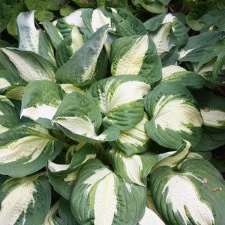 Vulcan Hosta Plant