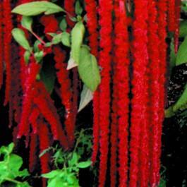 Love-Lies-Bleeding - Red Amaranth
