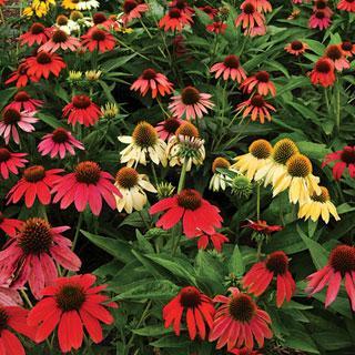 Cheyenne Spirit Echinacea Plants