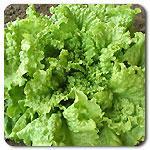 Organic Black Seeded Simpson  Lettuce