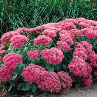 Neon Sedum Stonecrop Plant