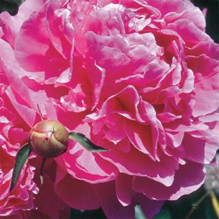 Dr. Alexander Fleming Peony Plant