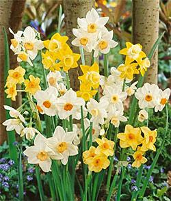 SOLD OUT Mixed Small Cup Daffodil - 10 bulbs