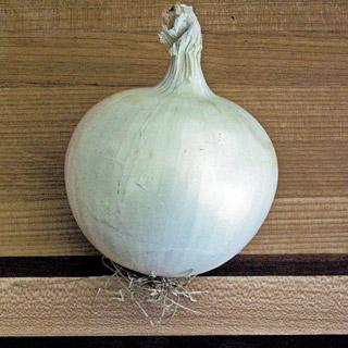 Onion Whitewing Hybrid
