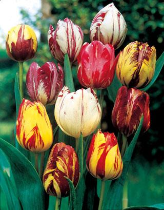 Rembrandt Tulip Mix Bulb - Pack of 10