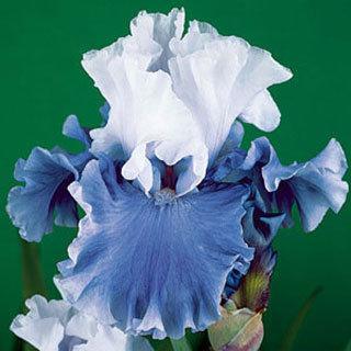 Nehalem Bay Tall Bearded Iris Plant