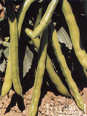 Negreta Bean