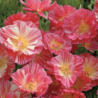 California Poppy 'Wrinkled Rose'