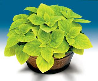 Coleus Giant Exhibition Limelight
