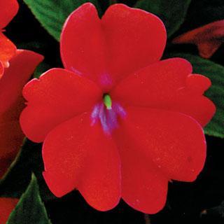 Impatiens Spreading Corona SunPatiens® Annual Plant