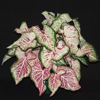 Peppermint Caladium Bulb