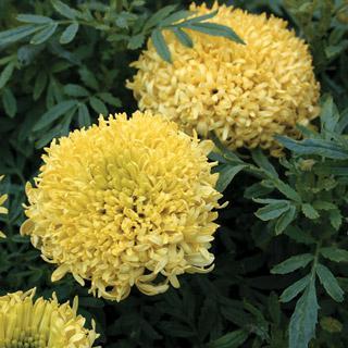 Marigold Mumsy Yellow