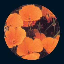 California Poppy  - Wildflower