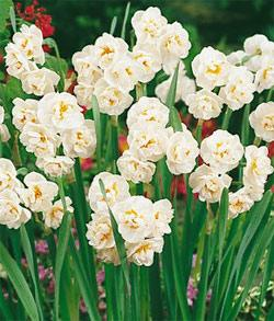 SOLD OUT Cheerfulness Tazetta Daffodil - 10 bulbs