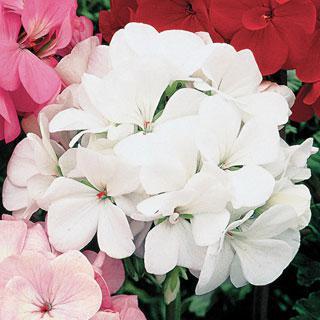 Geranium Orbit White