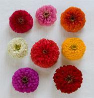 Giant Dahlia Flowered Mix