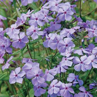 Mary Helen Phlox divaricata Plant