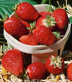 Sequoia Junebearer Strawberry Plants - 10 root divisions
