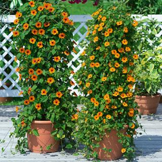 Sunny Susy® Black-eyed Susan Thunbergia Plants