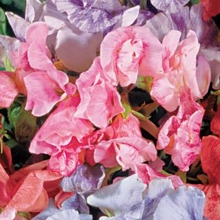 Sweet Pea Streamer Pink