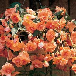 Apricot Hanging Basket Begonia - 3 tubers