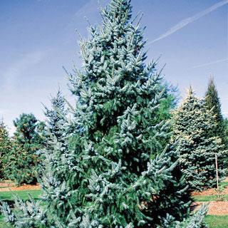 Bruns Picea omorika Serbian Spruce Tree