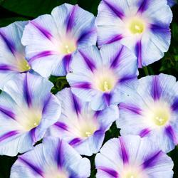 Ipomoea purpurea 'Light Blue Star'