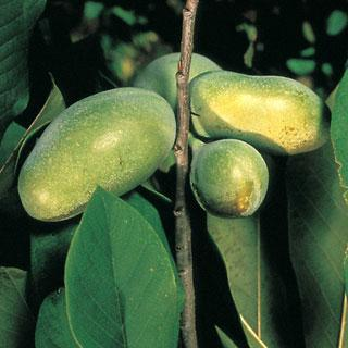 Asimina triloba Paw-Paw Tree