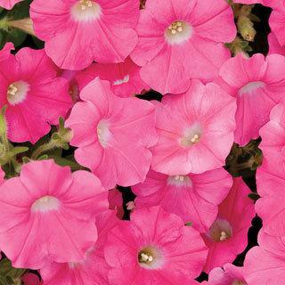 Petunia Shock Wave® Rose
