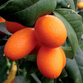 Nagami Citrus Kumquat Tree