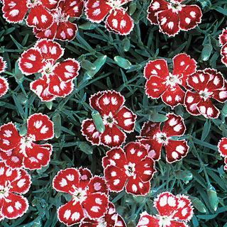 Spangled Star Dianthus Carnation Plant