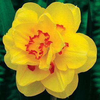 Tahiti Daffodil Bulb - Pack of 5