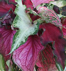 Mixed Lance Leaved Caladiums - 6 tubers