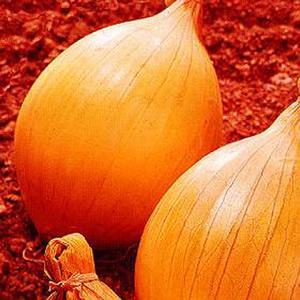 Onion, Ailsa Craig, Bulb