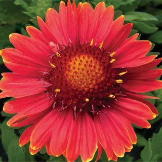Burgundy Gaillardia x grandiflora Blanket Flower Plant