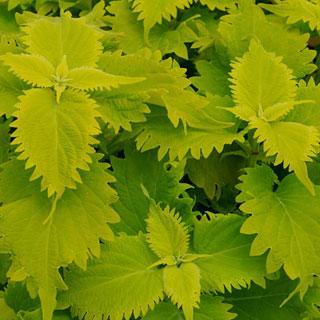 Wasabi Coleus Plants
