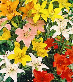 Mixed Asiatic Lilies - 5 bulbs