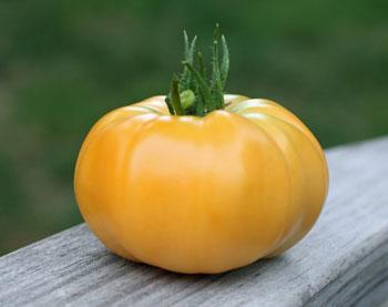 Tomato, Dr. Wyche's Yellow