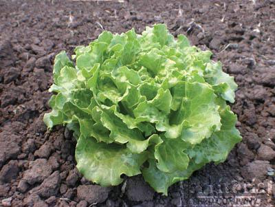 Nevada Lettuce Organic