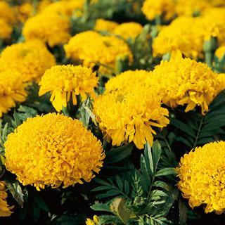 Marigold 'Mumsy Gold'